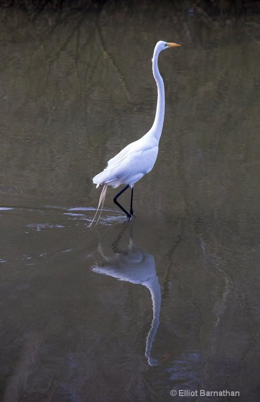 Great Egret - Chincoteague 29