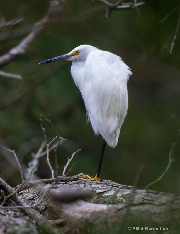Snowy Egret - Chincoteague 27
