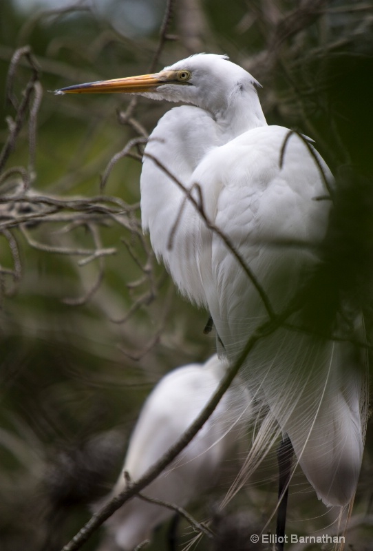 Great Egret - Chincoteague 26