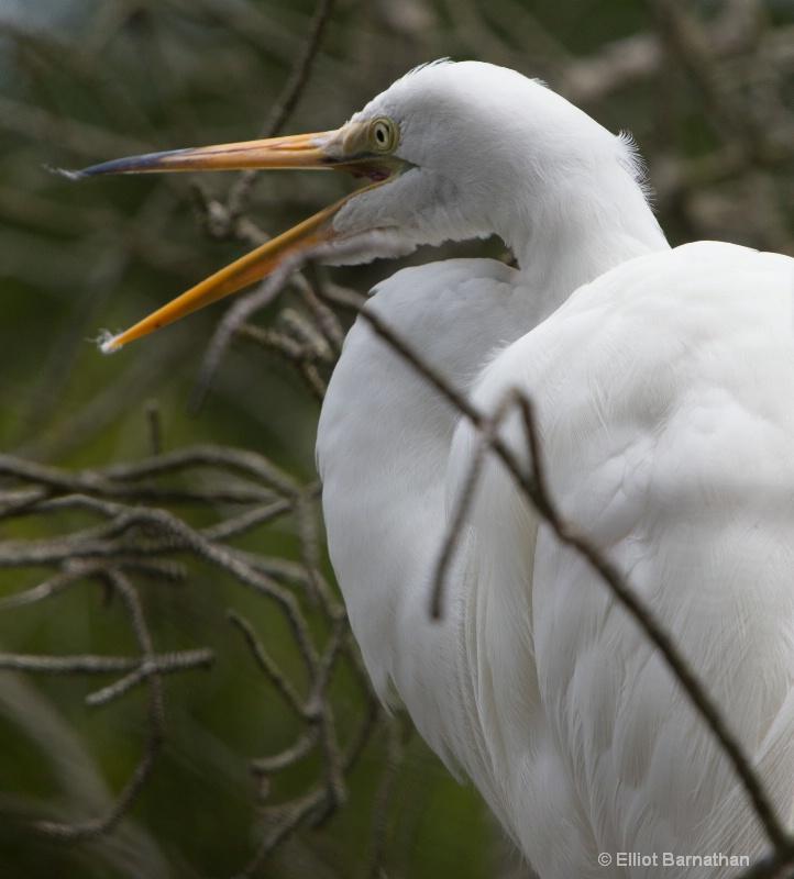 Great Egret - Chincoteague 25