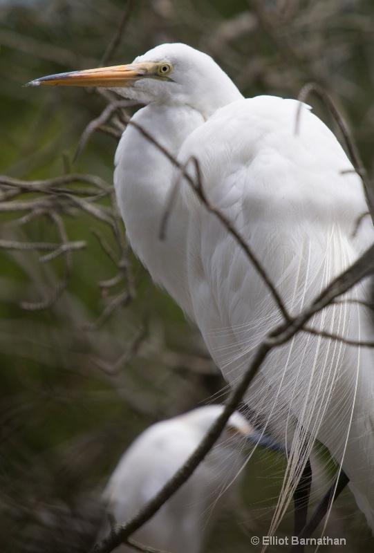 Great Egret - Chincoteague 24