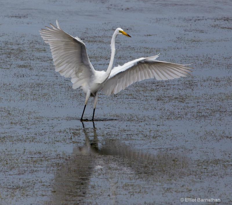 Great Egret - Chincoteague 23