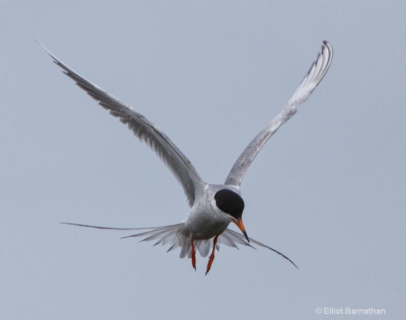 Common Tern (Sterna hirundo) - Chincoteague 22