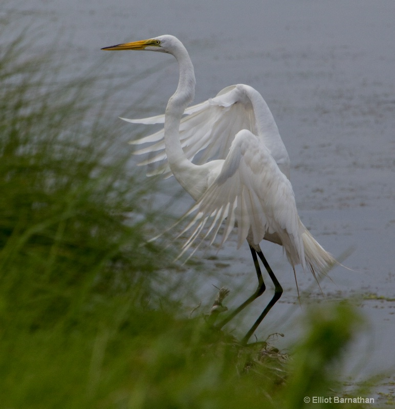 Great Egret - Chincoteague 21