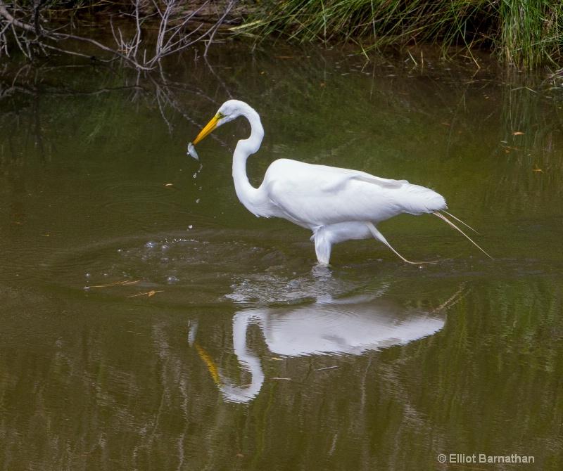 Great Egret - Chincoteague 16