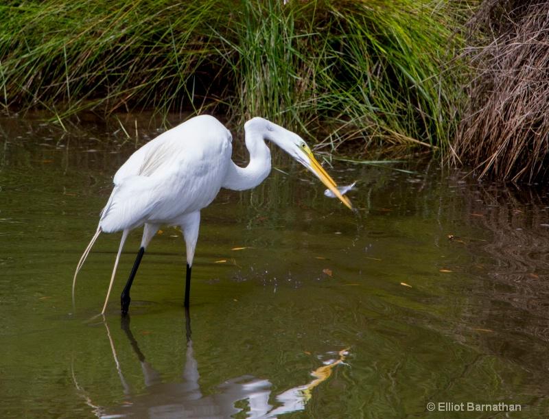 Great Egret - Chincoteague 15