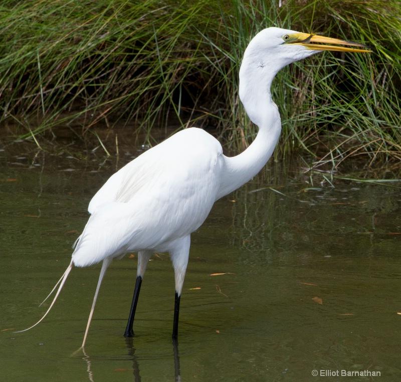 Great Egret - Chincoteague 14