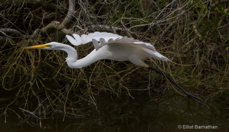 Great Egret - Chincoteague 13