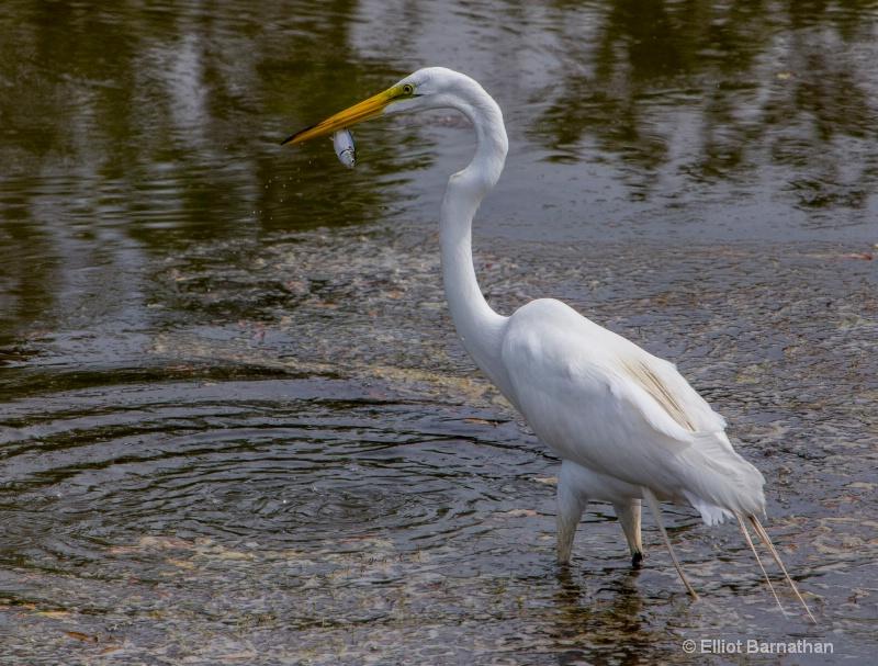 Great Egret - Chincoteague 12