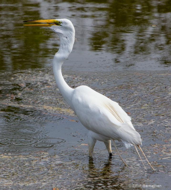 Great Egret - Chincoteague 11