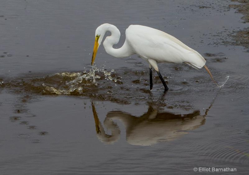 Great Egret - Chincoteague 10