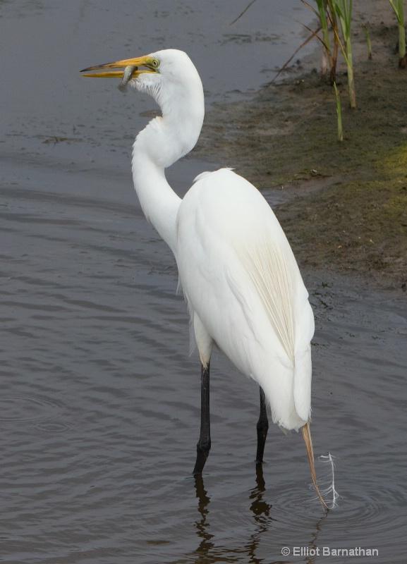Great Egret - Chincoteague 9