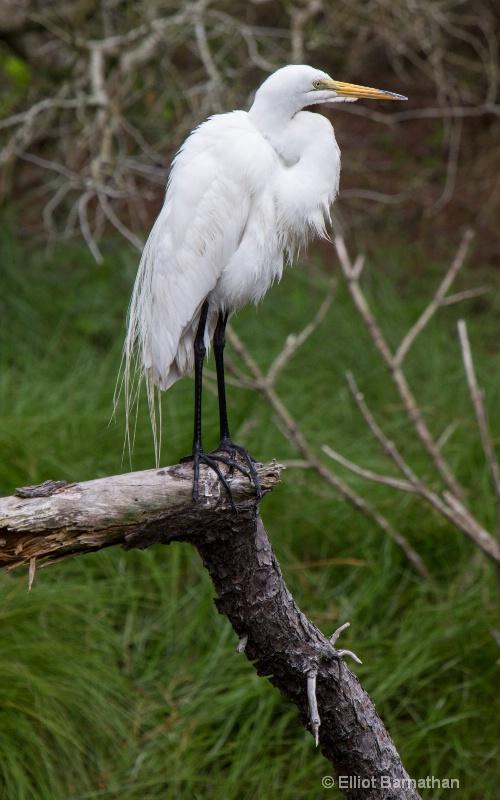 Great Egret - Chincoteague 2