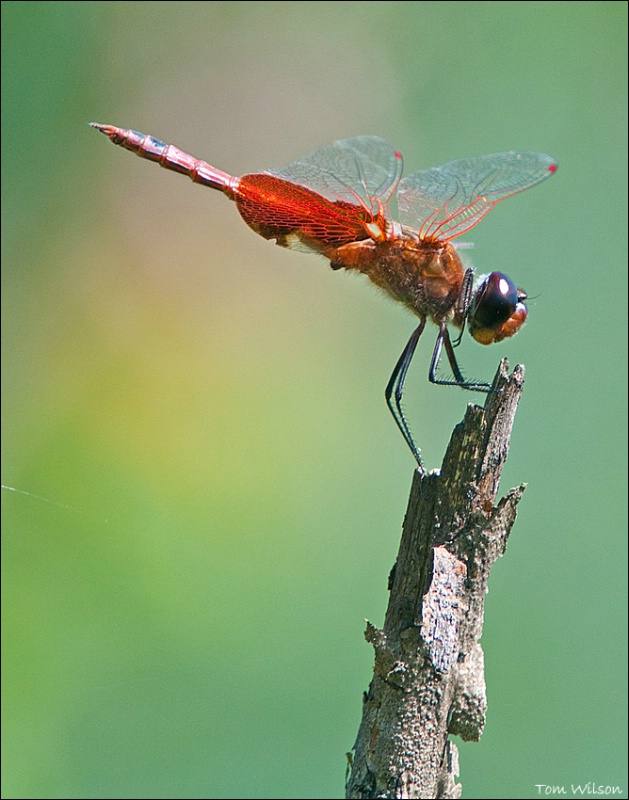 Male Carolina Saddlebags
