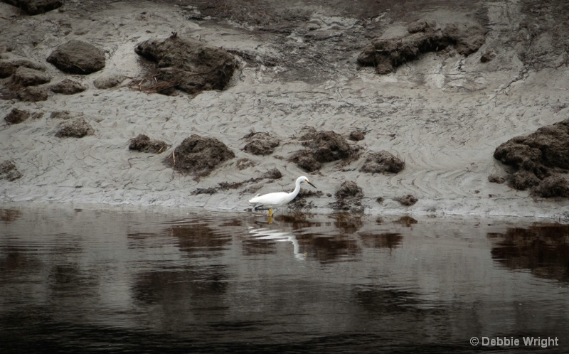 Great Egret Hunting for Lunch