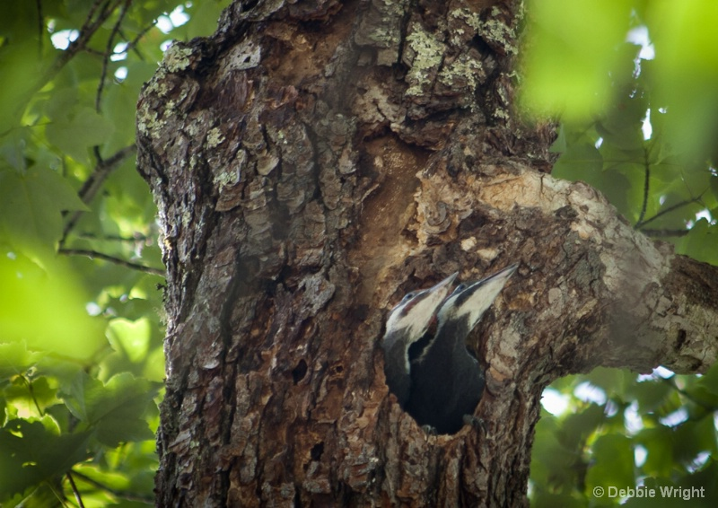 Pileated Woodpeckers Looking for Mom