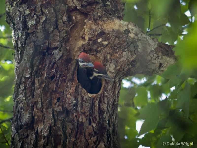 Nesting Pileated Woodpeckers