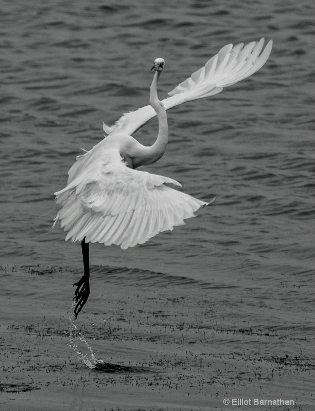 Great Egret Ballet - Chincoteague 77