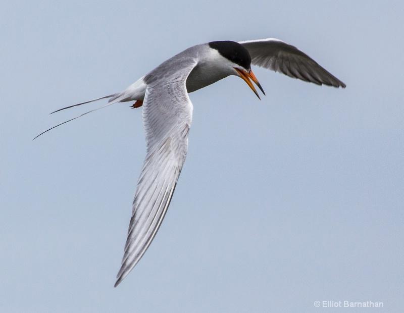 Common Tern (Sterna hirundo) - Chincoteague 76