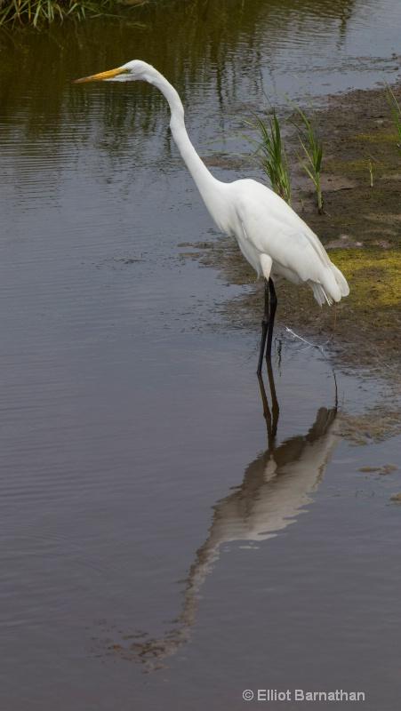 Great Egret - Chincoteague 74