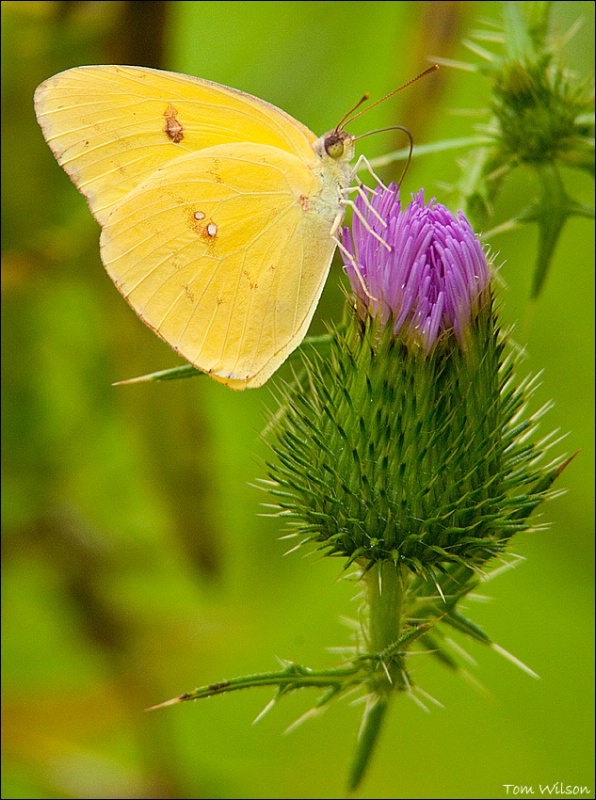 Clouded Sulpher on Thistle