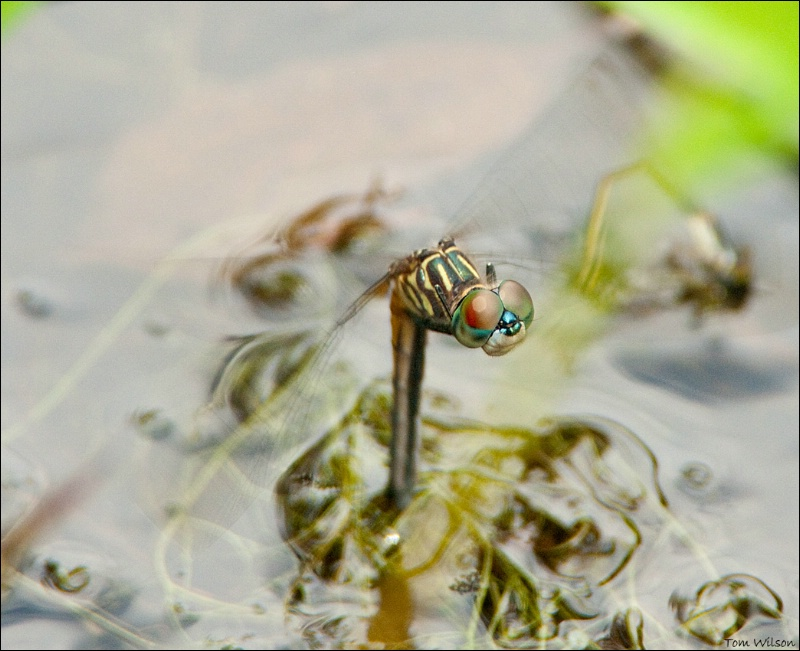 Female Blue Dasher Ovipositing
