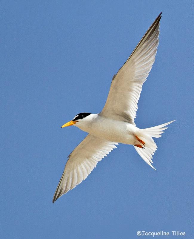 Lesser Tern in Flight