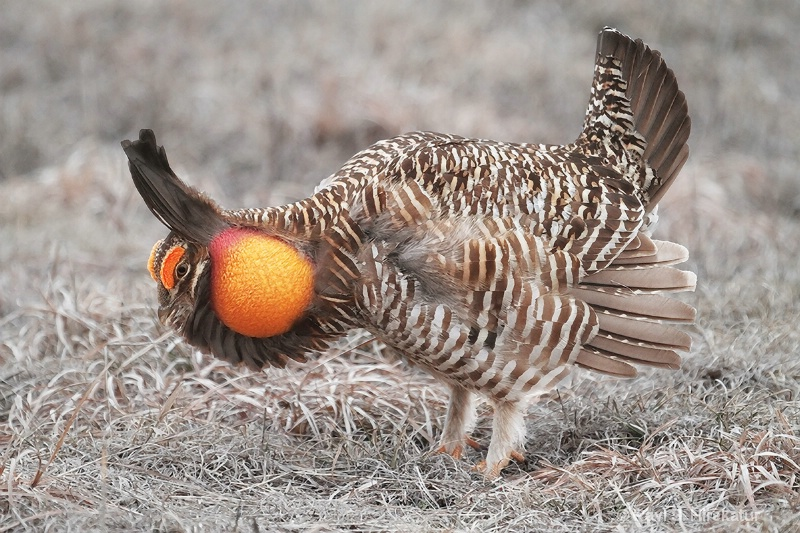 Prairie chicken male displaying