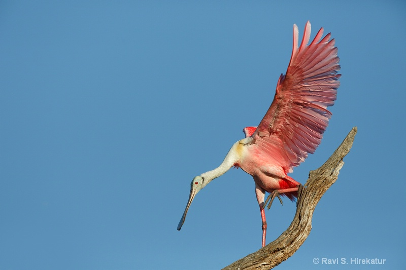 Roseate Spoonbill after landing