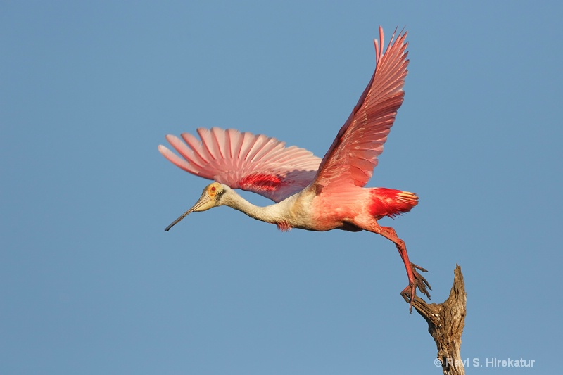 Spoonbill taking off