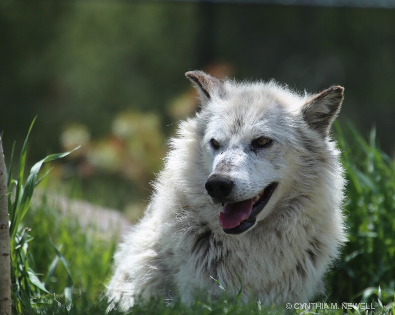 Grey Wolfe