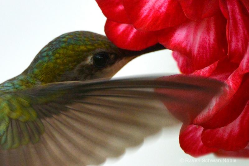 Ruby~Throated Hummingbird062813 026