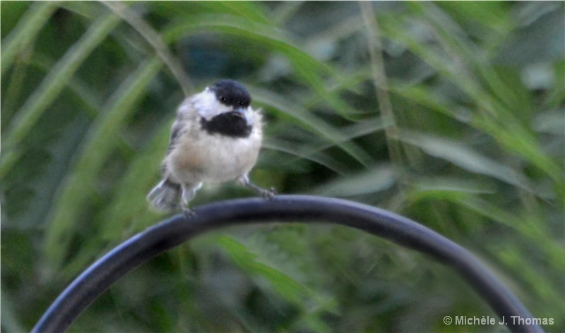 Grouchiest  Chickadee, I Have Ever Seen !