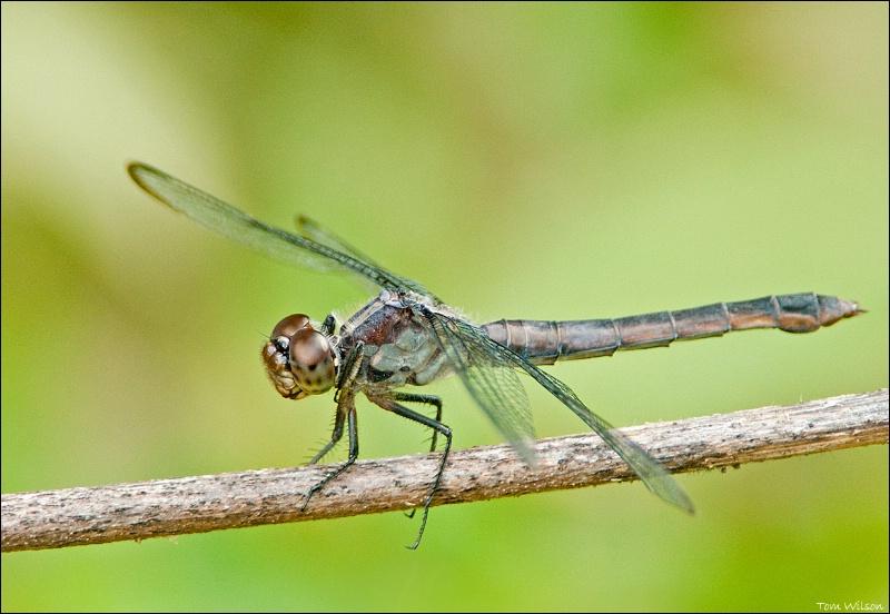 Female Slatey Skimmer