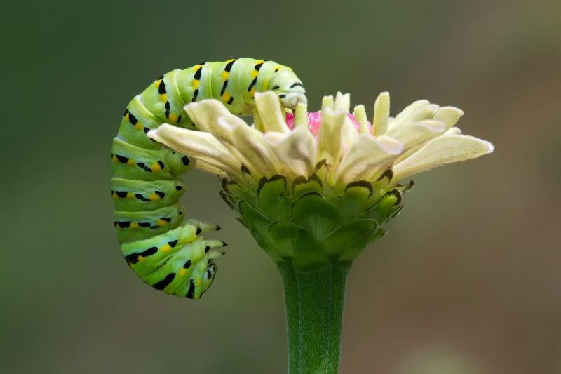 Black Swallowtail on Zinnia in My Garden