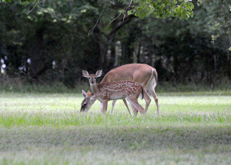 Whitetail Doe & Fawn-2