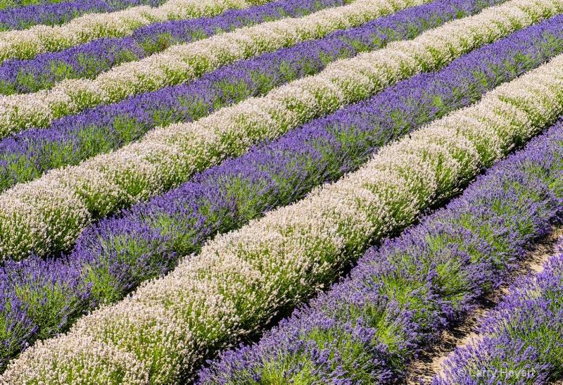 Lavender Festival in Sequim, Washington