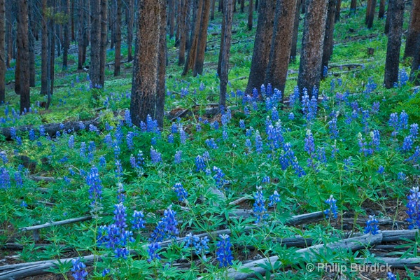 early morning lupine