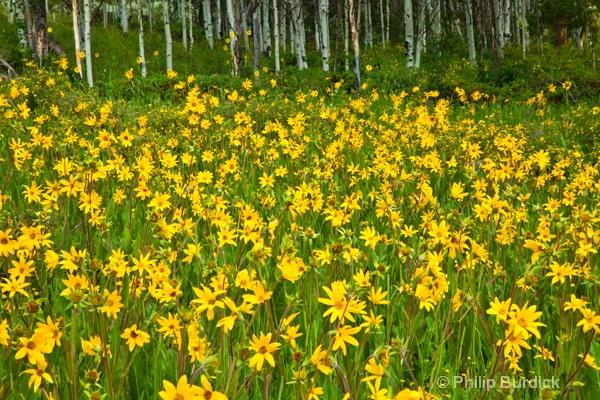 waunita pass sun flowers