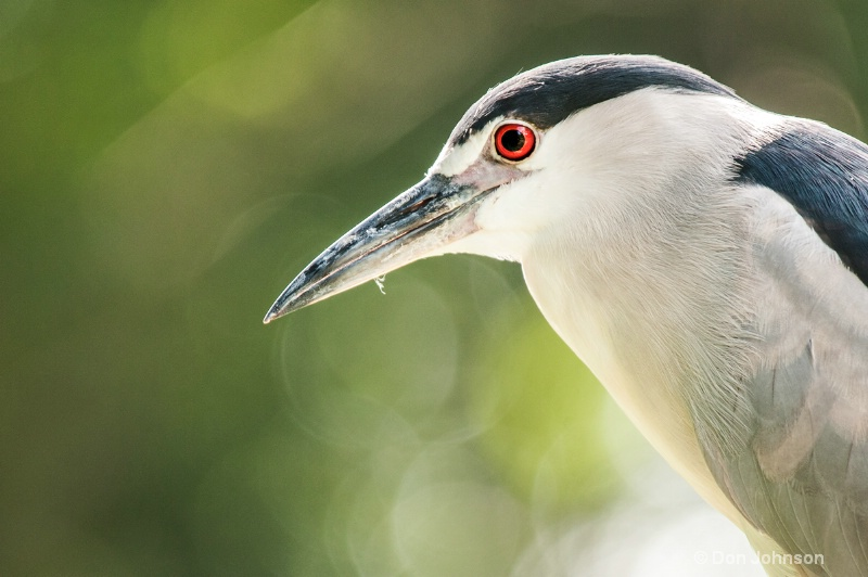 Wild Night Heron at Nat Zoo