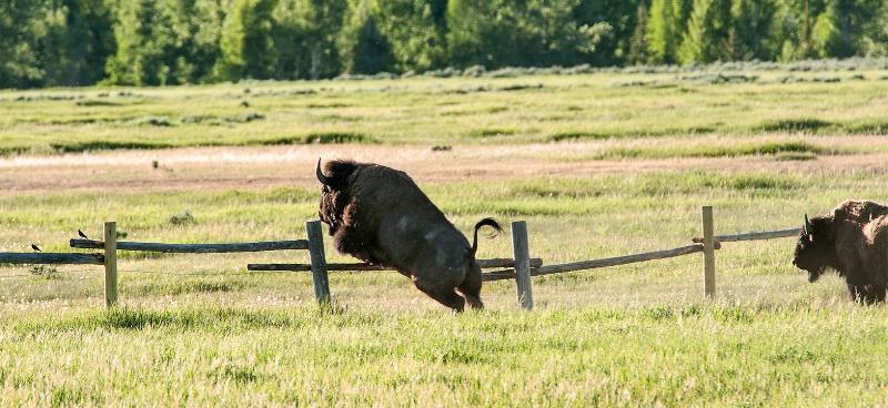 Buffalo Jumping