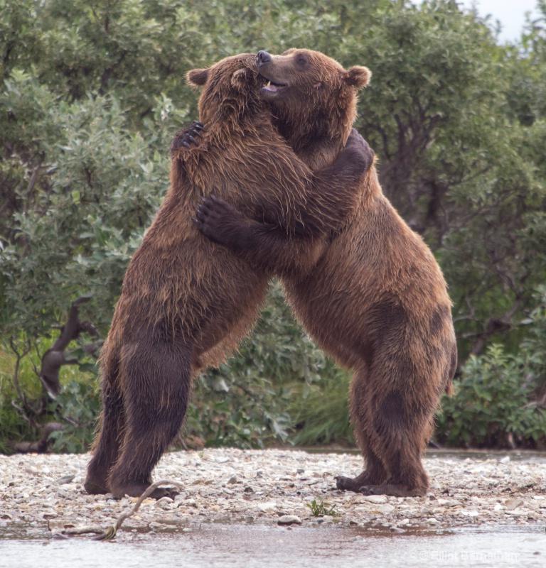 Alaskan Bear Hug