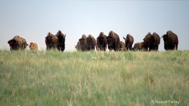 buffalo herd appoaching