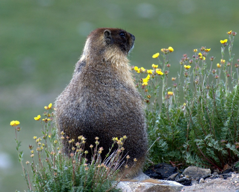 marmot and flowers