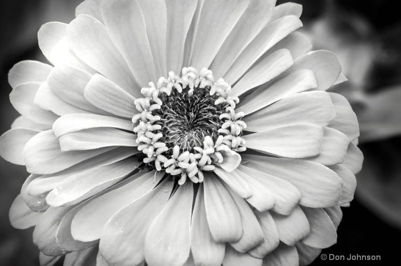 Pittsburgh Orange Flower B&W