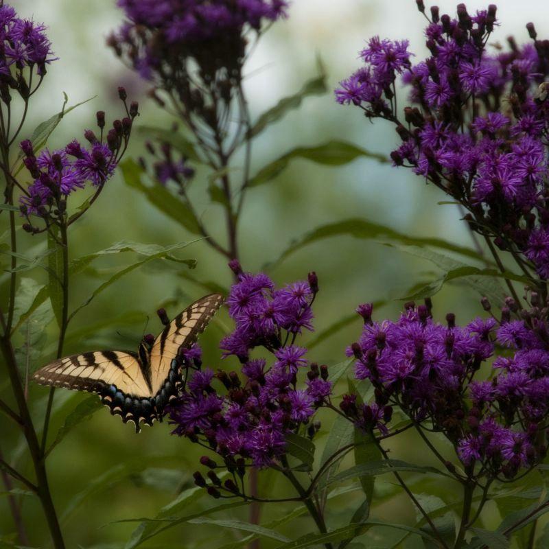 Mountain Butterfly II