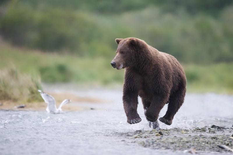 Bear High Jump