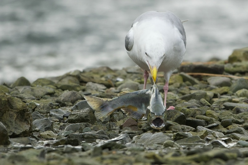 Seagull Plucks Salmon Right Out of Stream