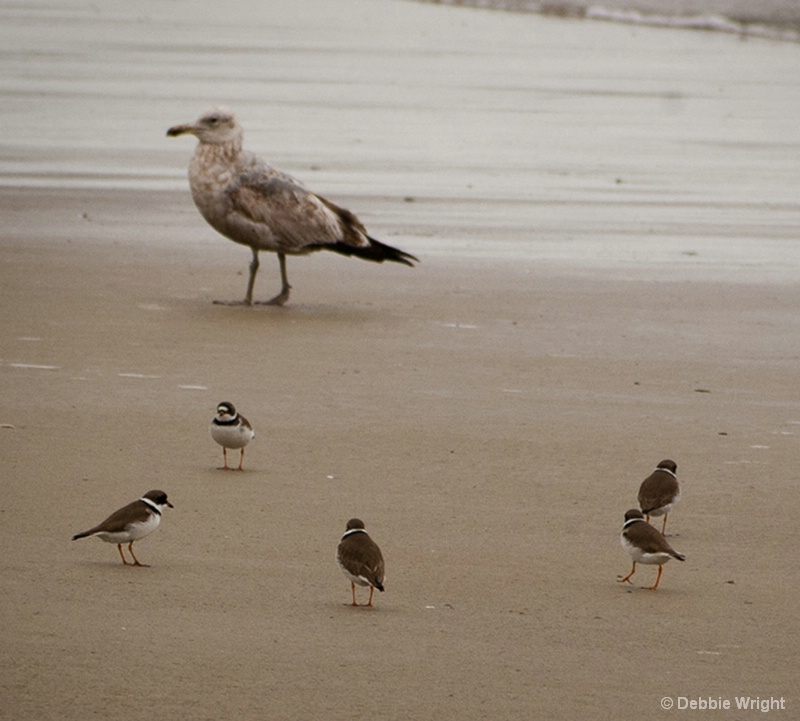Semipalmated Plovers and Gull