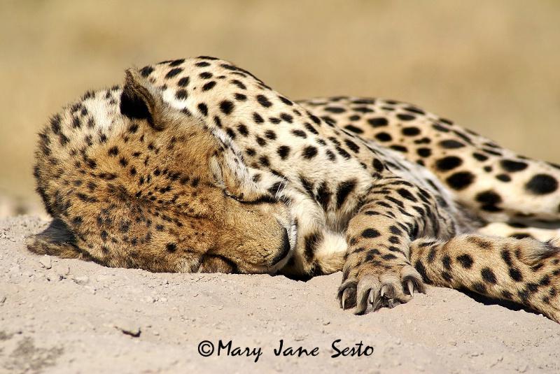 Cheetah Resting, Botswana
